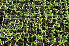 Organiskt lantbruk, plantor som växer i växthus Royaltyfri Foto
