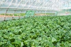 Organiskt lantbruk, sellerikål som växer i växthus Arkivfoto