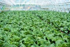 Organiskt lantbruk, sellerikål som växer i växthus Royaltyfri Fotografi