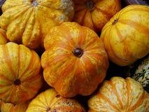 Organiskt producerad storartad jordnära squash Arkivfoton