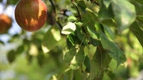 Organiskt rött äpple på filialen, frukt på fruktträdgården som är klar för val