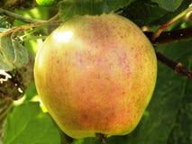 Organiskt trädgårds- äpple Royaltyfri Foto