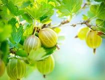 Organiskt växa för krusbär Fotografering för Bildbyråer