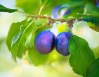 Organiskt växa för plommoner Royaltyfri Bild
