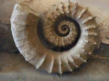 Organisme marin antique fossile, ammonite pétrifiée à nervures énorme avec des nervures sur des spirales de la coquille Photo stock