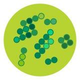 Organismo de la microbiología del icono de los microbios del virus de las bacterias y enfermedad humanos aislados microscópicos d ilustración del vector