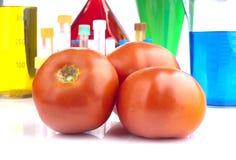 Organismo genético modificado - tomates y cristalería de laboratorio maduros Fotos de archivo libres de regalías