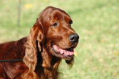 Organismo irlandés del perro Fotos de archivo libres de regalías