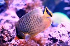 Organismo marinho [flysea-11] imagens de stock
