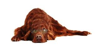 Perro irlandés del organismo rojo en vidrios Fotos de archivo libres de regalías