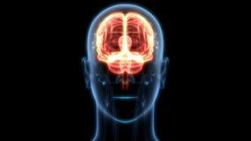 Organo centrale del sistema nervoso umano Brain Anatomy illustrazione di stock