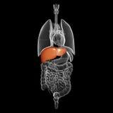 Organo umano del fegato con la vista interna Fotografia Stock Libera da Diritti