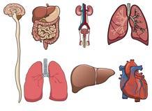 Organo umano dentro   illustrazione vettoriale