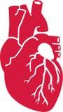 Organo umano reale del cuore illustrazione vettoriale