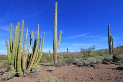 Organowej drymby i Saguaro kaktusy w Organowej drymby Kaktusowym Krajowym zabytku, Arizona, usa obrazy stock