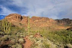 Organowej drymby i Saguaro kaktusy w Organowej drymby Kaktusowym Krajowym zabytku, Arizona, usa zdjęcie royalty free