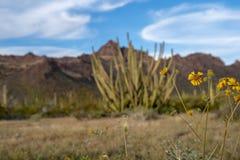 Organowej drymby Kaktusowy Krajowy zabytek - umierający kolorów żółtych pustynnych wildflowers, przygotowywa iść siać, przed skup obrazy stock