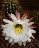 Organrohr-Kaktusblume stockbild