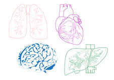 Organs. Illustrations of lungs, heart, liver and brain Royalty Free Illustration