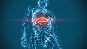 Organs pain liver