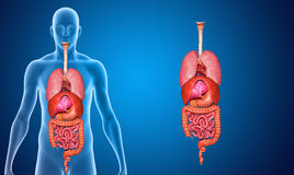 Organs. Two or more organs working together in the execution of a specific body function form an organ system Stock Illustration