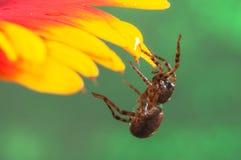 Orge d'araignée accrochant dessus à une fleur Image stock