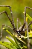 Orge spindel bland rosmarin Royaltyfri Fotografi