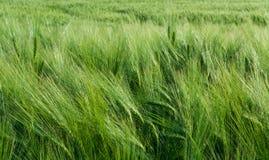 Orge verte dans le vent images libres de droits
