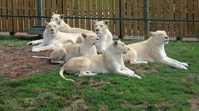 Orgoglio dei leoni bianchi Fotografia Stock