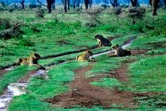 Orgoglio dei leoni che si siedono sul modo africano Fotografie Stock Libere da Diritti