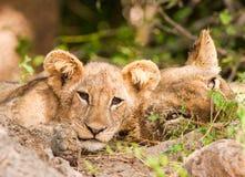 Orgoglio dei leoni con il cucciolo di leone sveglio Immagini Stock