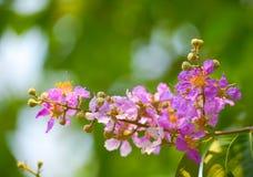 Orgoglio del fiore dell'India Fotografie Stock Libere da Diritti