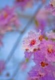 Orgoglio del fiore dell'India (il fiore della regina) Immagine Stock