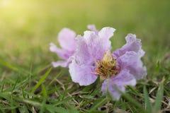 Orgoglio del fiore dell'India sul campo di erba Fotografia Stock