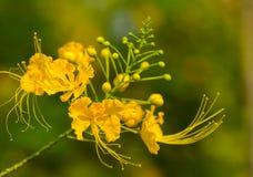Orgoglio del fiore di Barbados Fotografia Stock