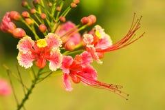 Orgoglio del fiore di Barbados Fotografie Stock
