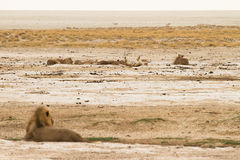 Orgoglio del leone Immagini Stock Libere da Diritti
