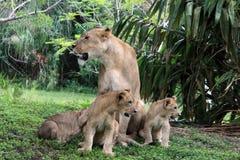 Orgoglio del leone Fotografie Stock Libere da Diritti