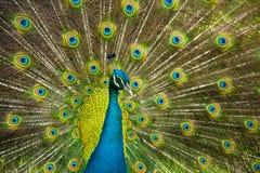 Orgoglio del pavone Fotografia Stock Libera da Diritti