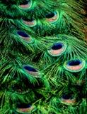 Orgoglio del pavone Fotografie Stock Libere da Diritti