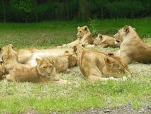 Orgoglio del plaid dei leoni Immagine Stock Libera da Diritti