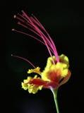 Orgoglio delle Barbados fotografia stock