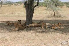Orgoglio di giovani leoni, parco nazionale di Serengeti, Tanzania Immagini Stock