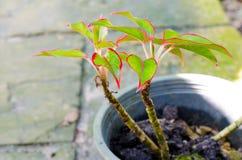 Orgoglio di Sumatra (Aglaonema, evergreen cinese) Fotografia Stock Libera da Diritti