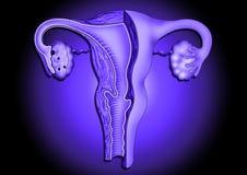Orgones femminili Fotografia Stock