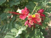 Orgulho da flor de barbados Fotos de Stock