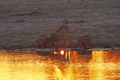 Orgulho de África o leão régio Fotos de Stock Royalty Free