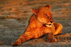 Orgulho de África o leão régio Fotografia de Stock