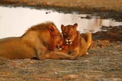Orgulho de África o leão régio Fotografia de Stock Royalty Free