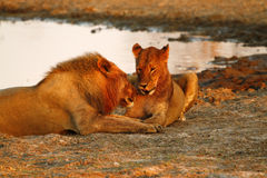 Orgulho de África o leão régio Imagens de Stock